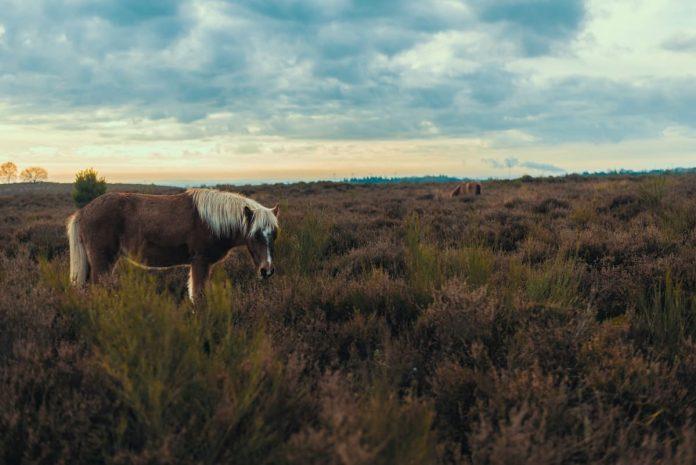 paard op de veluwe